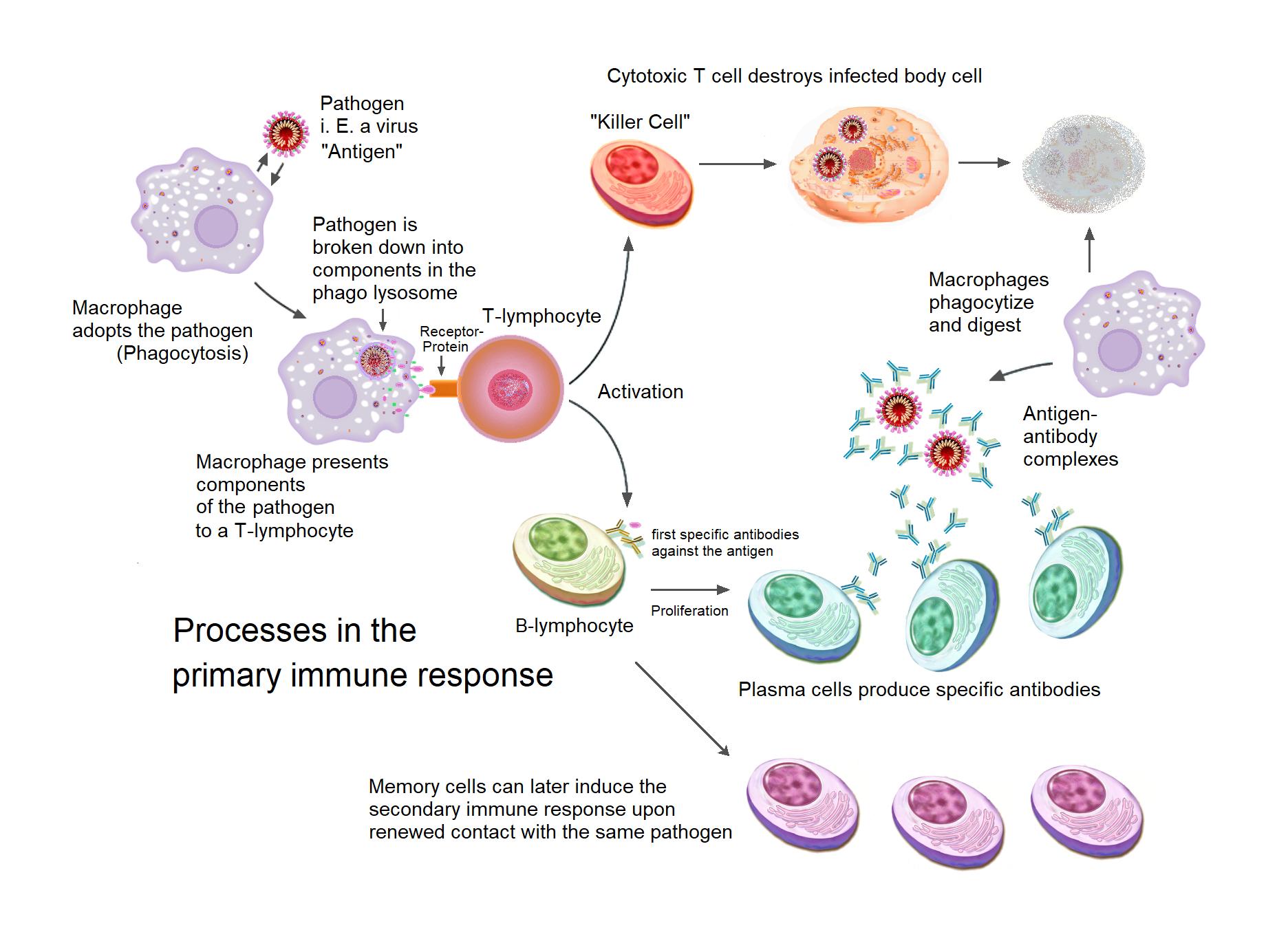 Primary Immune response